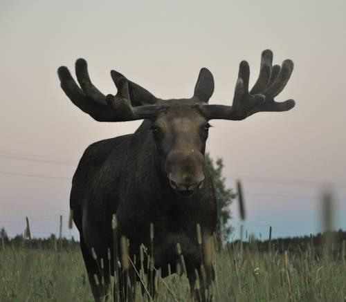Moose Garden Cover Picture